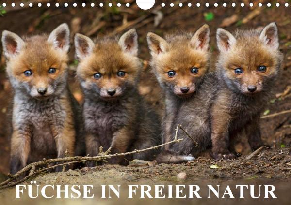 Füchse in freier Natur (Wandkalender 2020 DIN A4 quer)